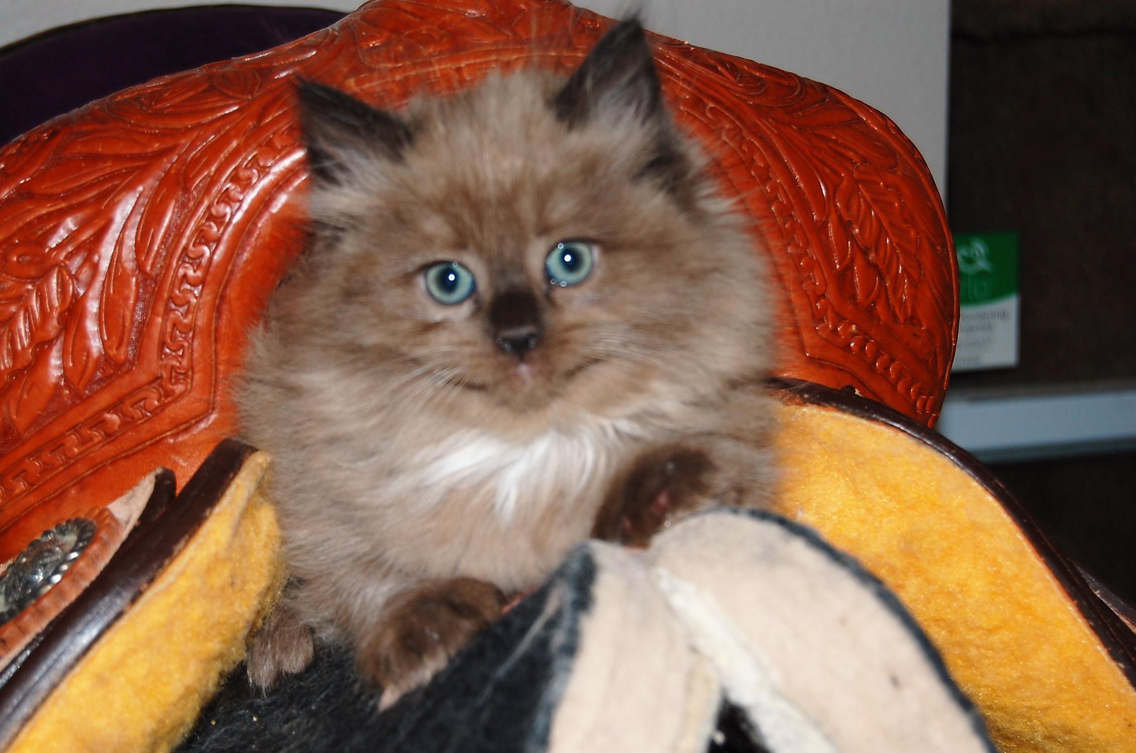 Ragdoll kittens for sale in Dallas Metroplex area